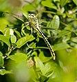 Yellow Clubtail (Gomphus simillimus) (35802603185).jpg