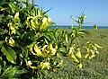 Yellow Gloriosa superba - on the sea coast (6903965287).jpg