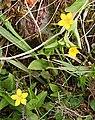 Yellow Pimpernel (Lysimachia nemorum) - geograph.org.uk - 823463.jpg