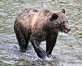 Young grizzly (1750410567).jpg