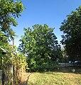 Young nut-tree. August 2014. - Молодой орех. Август 2014. - panoramio.jpg