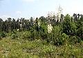 Yucca cernua fh 1185.31 TX BBB.jpg