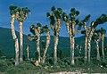 Yucca filifera fh 0344 MEX B.jpg