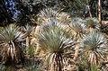 Yucca rostrata (scott.zona).jpg