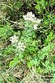 Zakynthos flora (35919316705).jpg