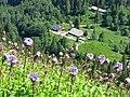 Zastler Hütte mit Alpen-Milchlattich.jpg