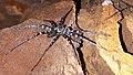 Zebra spider viridasius fasciatus.jpg