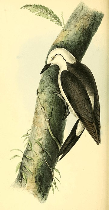 Zoological Illustrations Volume I Plate 38.jpg