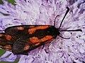 Zygaena minos (in copula) - Пестрянка восточная пурпурная (спаривание) (40539317615).jpg