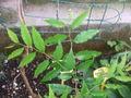 Zyzyphus mauritiana.jpg