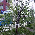 """""""Не руби сук, на котором сидишь"""", Якутск"""" - panoramio.jpg"""