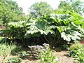 """Giant rhubarb"" within RHS Wisley - geograph.org.uk - 847111.jpg"