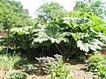 """Giant rhubarb"" within RHS Wisley - geograph.org.uk - 847111.jpg"
