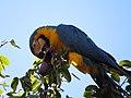 """arara-canindé"" - Ara ararauna - se alimentando de frutos e sementes de jatobá - Hymenaea courbaril 13.jpg"