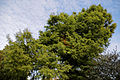 'Taxodium Distichum' Swamp Cypress - Beale Arboretum - West Lodge Park - Hadley Wood Enfield London.jpg