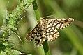 (1894) Latticed Heath (Chiasmia clathrata) (3579576700).jpg