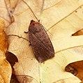 (2258) The Chestnut (Conistra vaccinii) (36839706424).jpg