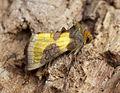 (2434) Burnished Brass (Diachrysia chrysitis) (18619608580).jpg