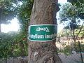 (Calophyllum inophyllum) at VUDA Park 12.JPG