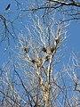 Долна Топчия - чаплова колония - гнезда.JPG