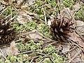 """Заказник """"Чорний мох"""" - соснові шишки на острівці Сфагнуму.jpg"""