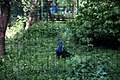 Київський зоопарк Павич IMG 3425.jpg