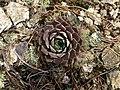 Мраморен дебелец (Sempervivum marmoreum).jpg