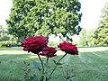 Розы - panoramio (12).jpg