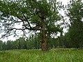 Старая лиственница - panoramio.jpg