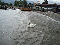 Струга, Лебед 1.jpg