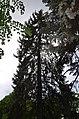 Ялина колюча по вулиці Шевченка, 26. Фото 1.jpg
