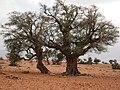 شجرة الأركان المعمرة.jpg