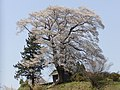 七草木の天神桜 - panoramio - Duff Figgy.jpg