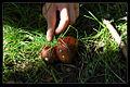 喀纳斯 雨后蘑菇 - panoramio.jpg
