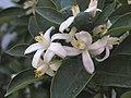 四季桔 Citrus mitis 'Honey Queen' -泰國清邁花展 Royal Flora Ratchaphruek, Thailand- (9229859124).jpg