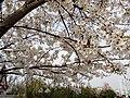 漕宝路七号桥头的樱花树 3.jpg