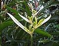 秘魯新白蠍尾蕉 Heliconia psittacorum 'Peru White New' -新加坡植物園 Singapore Botanic Gardens- (15346862619).jpg