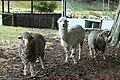 绵羊 sheep - panoramio (1).jpg