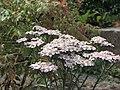 耆屬 Achillea alpina pulchra -倫敦植物園 Kew Gardens, London- (9226998255).jpg