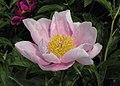 芍藥-粉金蓮 Paeonia lactiflora 'Pinkish Golden Lotus' -瀋陽植物園 Shenyang Botanical Garden, China- (12380296103).jpg