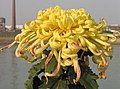 菊花-汴梁金龍 Chrysanthemum morifolium 'Kaifeng Golden Dragon' -中山小欖菊花會 Xiaolan Chrysanthemum Show, China- (11980400024).jpg