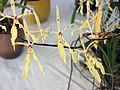 越南火焰蘭 Renanthera citrina -香港青松觀蘭花展 Tuen Mun, Hong Kong- (9213337479).jpg