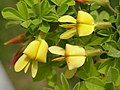 金雀花(錦雞兒) Caragana sinica -洛陽西苑公園 Luoyang Botanical Garden, China- (9216111658).jpg