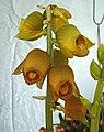 鋼盔蘭 Catasetum planiceps -香港青松觀蘭花展 Tuen Mun, Hong Kong- (16811578270).jpg