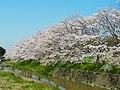 飛鳥川沿いの桜 Cherry trees along the Asuka-gawa 2012.4.12 - panoramio.jpg
