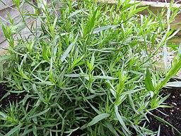 -2019-07-21 Tarragon, (Artemisia dracunculus), Trimingham