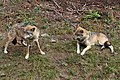 00 2625 Nationalpark Bayerischer Wald - Freigehege für Wölfe.jpg