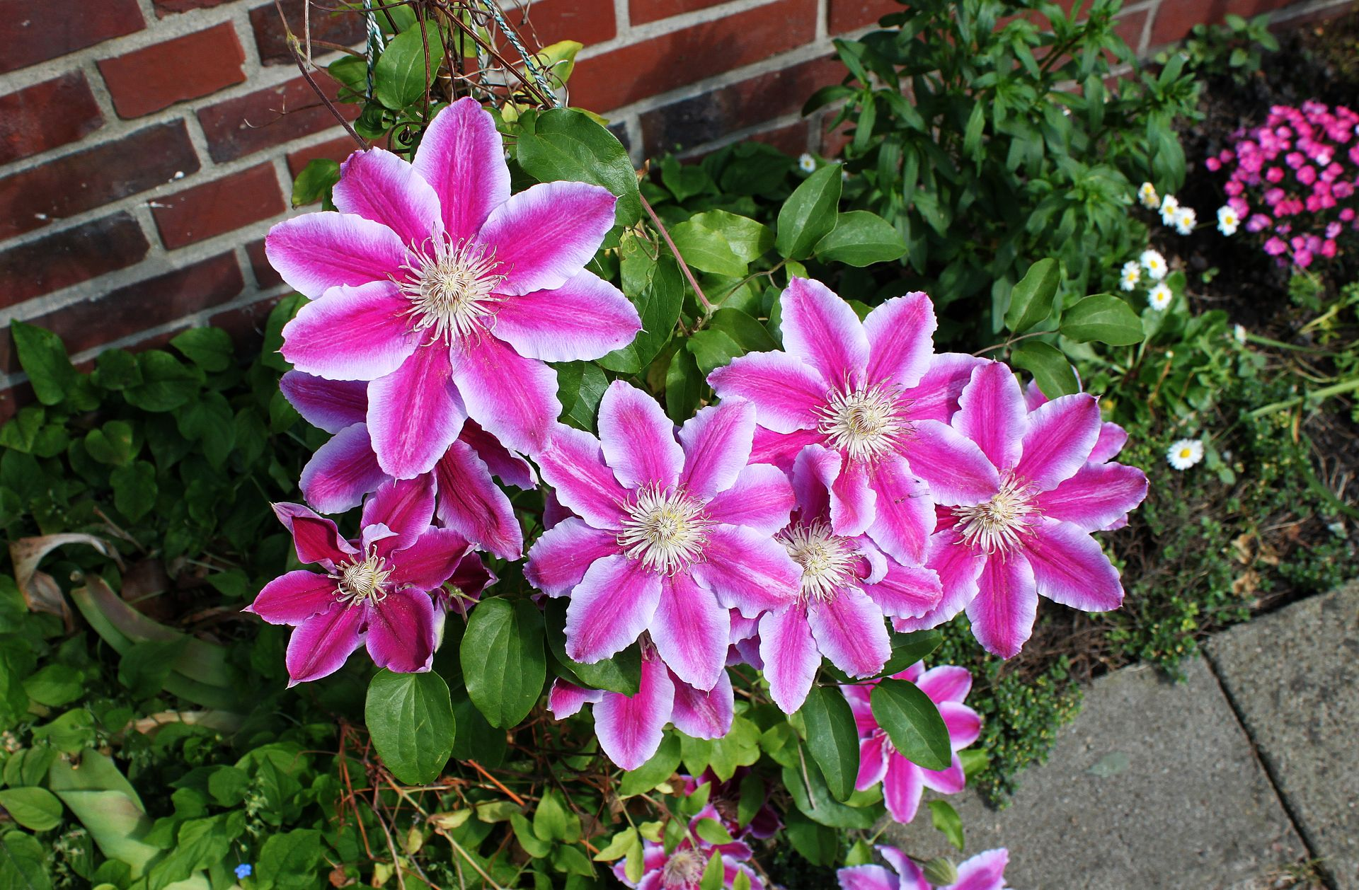 clematis 39 doctor ruppel 39 wikimedia commons. Black Bedroom Furniture Sets. Home Design Ideas
