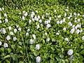 06339jfBarangay Eichhornia Flowers Pansinao Candaba Mount Arayat Pampanga Riverfvf 14.JPG