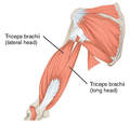 1120 Muscles that Move the Forearm Humerus Ext Sin.png